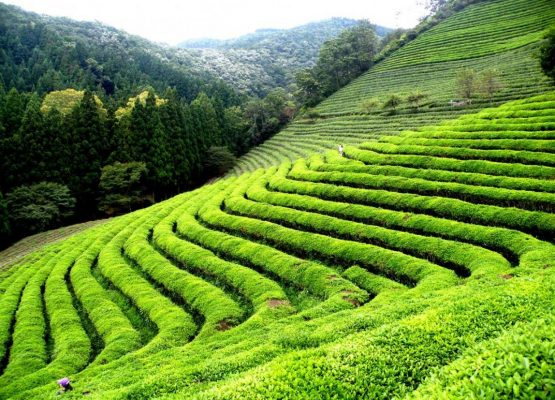 Source:  From the heart of India's Tea region- Darjeeling and Assam